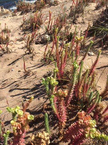 Beach plants on the Cape to Cape track