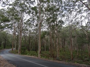 Boranup Forest amazing Karri Trees