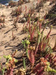 Exotic plants on the Cape to Cape Track
